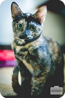 Domestic Shorthair Kitten for adoption in Leander, Texas - Ember