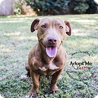 Basset Hound/Pit Bull Terrier Mix Dog for adoption in Mooresville, North Carolina - Cora