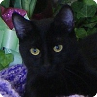 Domestic Shorthair Cat for adoption in Monroe, Michigan - Ophelia