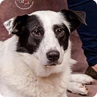 Border Collie Mix Dog for adoption in Cincinnati, Ohio - Sweden $14