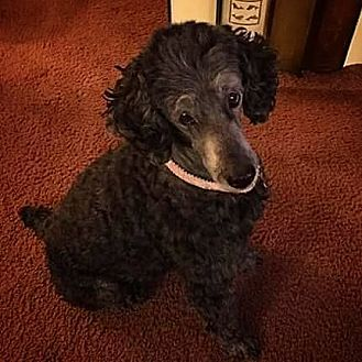 Poodle (Miniature) Dog for adoption in Henderson, Nevada - Curly Sue