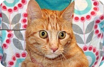 Domestic Shorthair Cat for adoption in Wildomar, California - Timmy