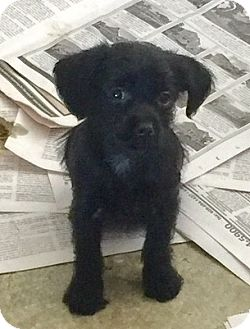 Terrier (Unknown Type, Small) Mix Puppy for adoption in Waretown, New Jersey - COOKIE