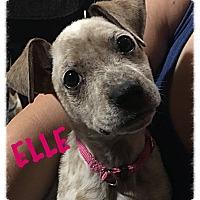 Adopt A Pet :: Elle - Tempe, AZ