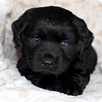 Adopt A Pet :: Dakota - Chester Springs, PA