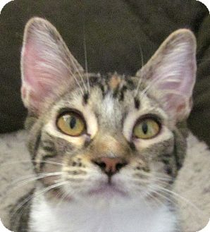 Domestic Shorthair Cat for adoption in Winchester, California - Flame