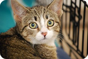 Domestic Shorthair Kitten for adoption in Trevose, Pennsylvania - Salt