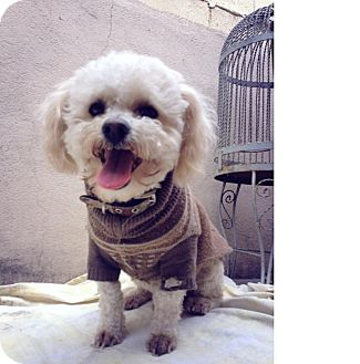 Poodle (Miniature) Mix Dog for adoption in San Diego, California - Shrek