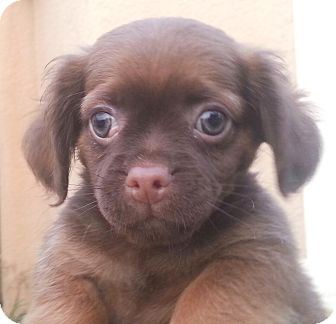 Pug/Dachshund Mix Puppy for adoption in Orlando, Florida - Lele#4fF