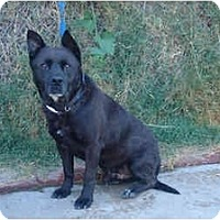 Labrador Retriever/Akita Mix Dog for adoption in West Los Angeles, California - Mr. Buddy