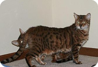 Bengal Cat for adoption in Louisville, Kentucky - Balou - IL