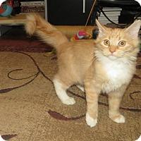 Adopt A Pet :: Pikkiwoki - Edmond, OK
