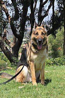 German Shepherd Dog Dog for adoption in Laguna Niguel, California - Maddox