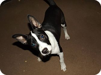 Boston Terrier/Blue Heeler Mix Dog for adoption in Deer Lodge, Tennessee - Maggie