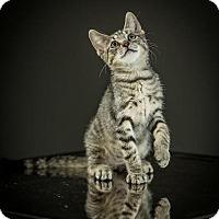 Adopt A Pet :: Parker - St. Louis, MO