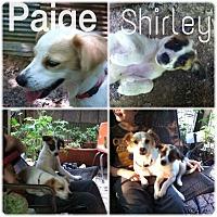 Adopt A Pet :: Shirley meet me 8/28 - East Hartford, CT