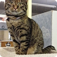 Domestic Mediumhair Cat for adoption in Fort Benton, Montana - Greece  Monkey