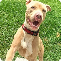 American Staffordshire Terrier Dog for adoption in Houston, Texas - Coop