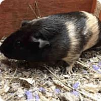 Adopt A Pet :: *Urgent* Oreo - Fullerton, CA