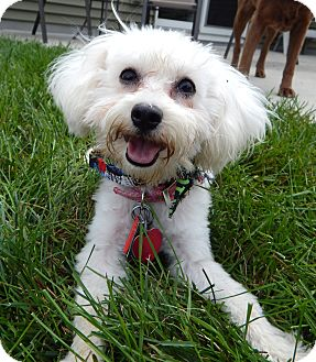 Maltese Mix Puppy for adoption in Fort Atkinson, Wisconsin - Baby