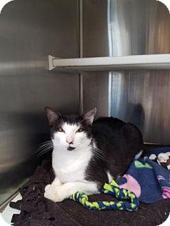 Domestic Shorthair Cat for adoption in Peace Dale, Rhode Island - Jasper