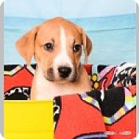 Adopt A Pet :: Lexi - Pittsboro, NC