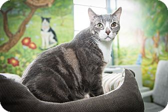 American Shorthair Cat for adoption in New York, New York - Ari