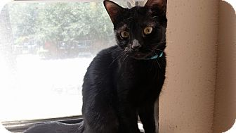 American Shorthair Kitten for adoption in Houston, Texas - Molly