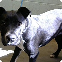 Pit Bull Terrier Mix Dog for adoption in Decatur, Georgia - Avery
