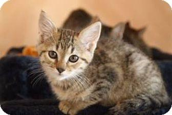 Domestic Shorthair Kitten for adoption in Ripon, California - Ginny