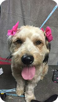 Wheaten Terrier Mix Dog for adoption in Santa Ana, California - Charity