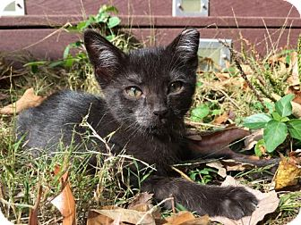 Domestic Shorthair Cat for adoption in Flint HIll, Virginia - Miracle