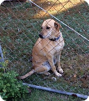 Labrador Retriever Mix Dog for adoption in Irmo, South Carolina - Lindsey