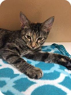 Domestic Shorthair Kitten for adoption in Cumming, Georgia - Stacy