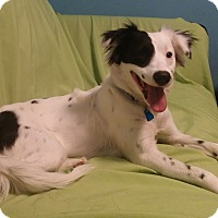 Adopt A Pet :: Sweep-Adoption Pending - House Springs, MO