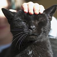 Domestic Mediumhair Cat for adoption in LaGrange, Kentucky - Mr. Cassie