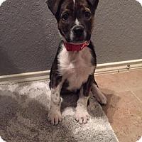 Adopt A Pet :: Bentley - Olympia, WA
