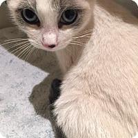 Adopt A Pet :: ALICE-SIAMESE SNOWSHOE KITTEN - Philadelphia, PA
