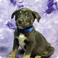 Adopt A Pet :: IVAN - Westminster, CO