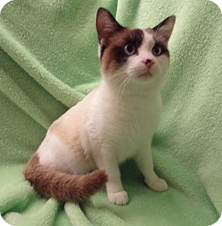 Siamese Cat for adoption in Bentonville, Arkansas - Sarita