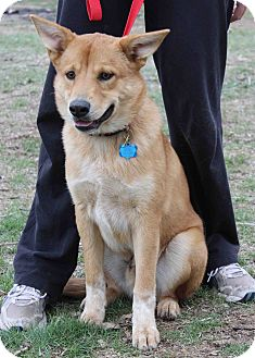 Golden Retriever/Shepherd (Unknown Type) Mix Dog for adoption in Westminster, Colorado - Lee