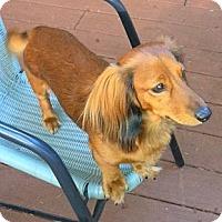 Adopt A Pet :: HOTSHOT - Portland, OR