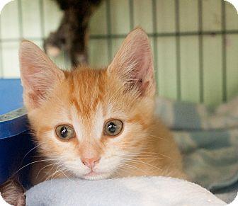 Domestic Shorthair Kitten for adoption in Shelton, Washington - Rigatoni