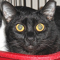 Domestic Shorthair Cat for adoption in Chattanooga, Tennessee - Pretty
