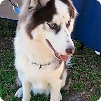 Adopt A Pet :: Diesel - Clearwater, FL