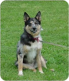 Ginny | Adopted Dog | Austin, MN | Blue Heeler/Australian ...