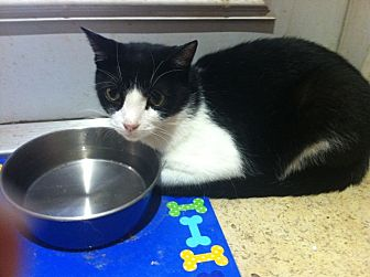 Domestic Shorthair Cat for adoption in Tampa, Florida - Mylo