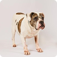 Adopt A Pet :: Uma - Richmond, VA