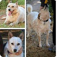 Cattle Dog Dog for adoption in Shreveport, Louisiana - Sassy