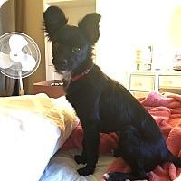 Adopt A Pet :: Ivy - Las Vegas, NV